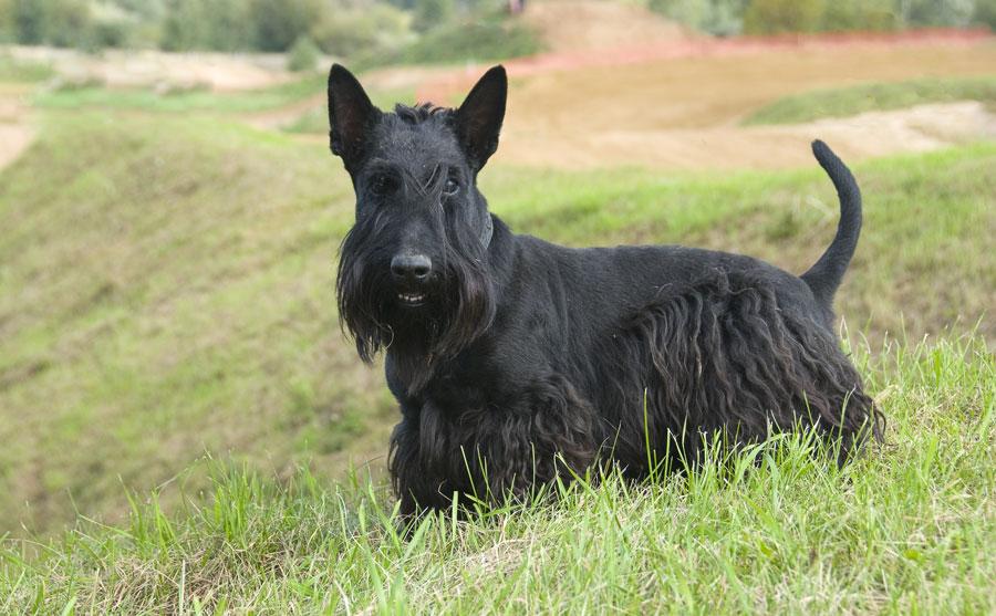 تریر اسکاتلندی (Scottish Terrier)