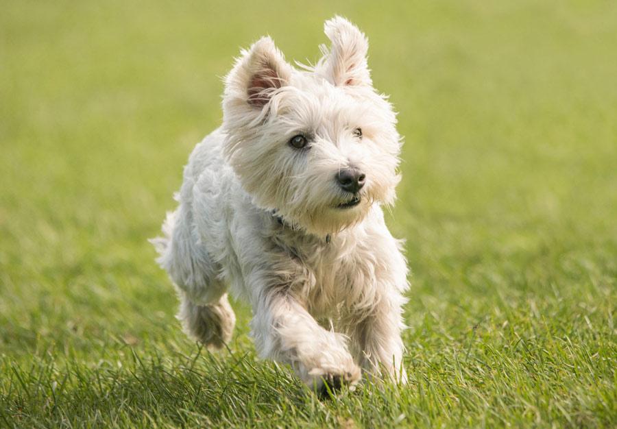تریر سفید وست هایلند (West Highland White Terrier)