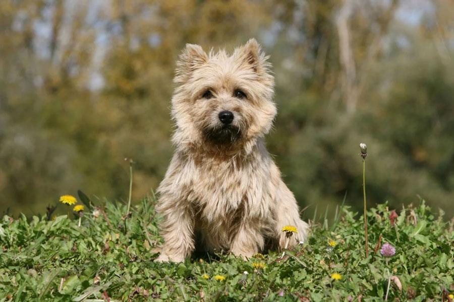 کیرن تریر (Cairn Terrier)