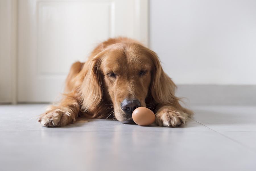 خطرات تخم مرغ برای سگ
