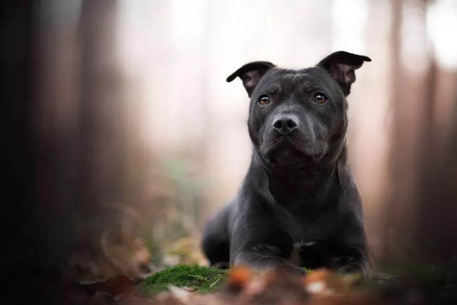 استافوردشایر بول تریر (Staffordshire Bull Terrier)