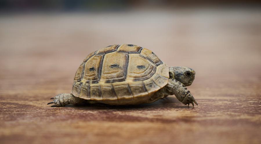 لاکپشت خانگی