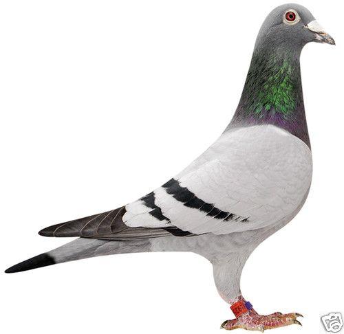 کبوتر پلاکی