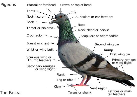 مشخصات کبوتر پلاکی