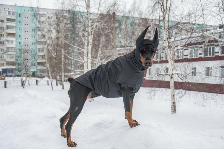 سگ دوبرمن در زمستان