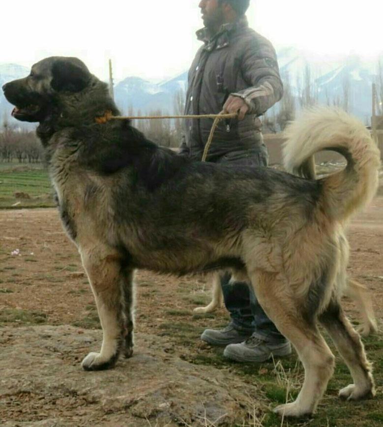 سگ سراب قهرمان