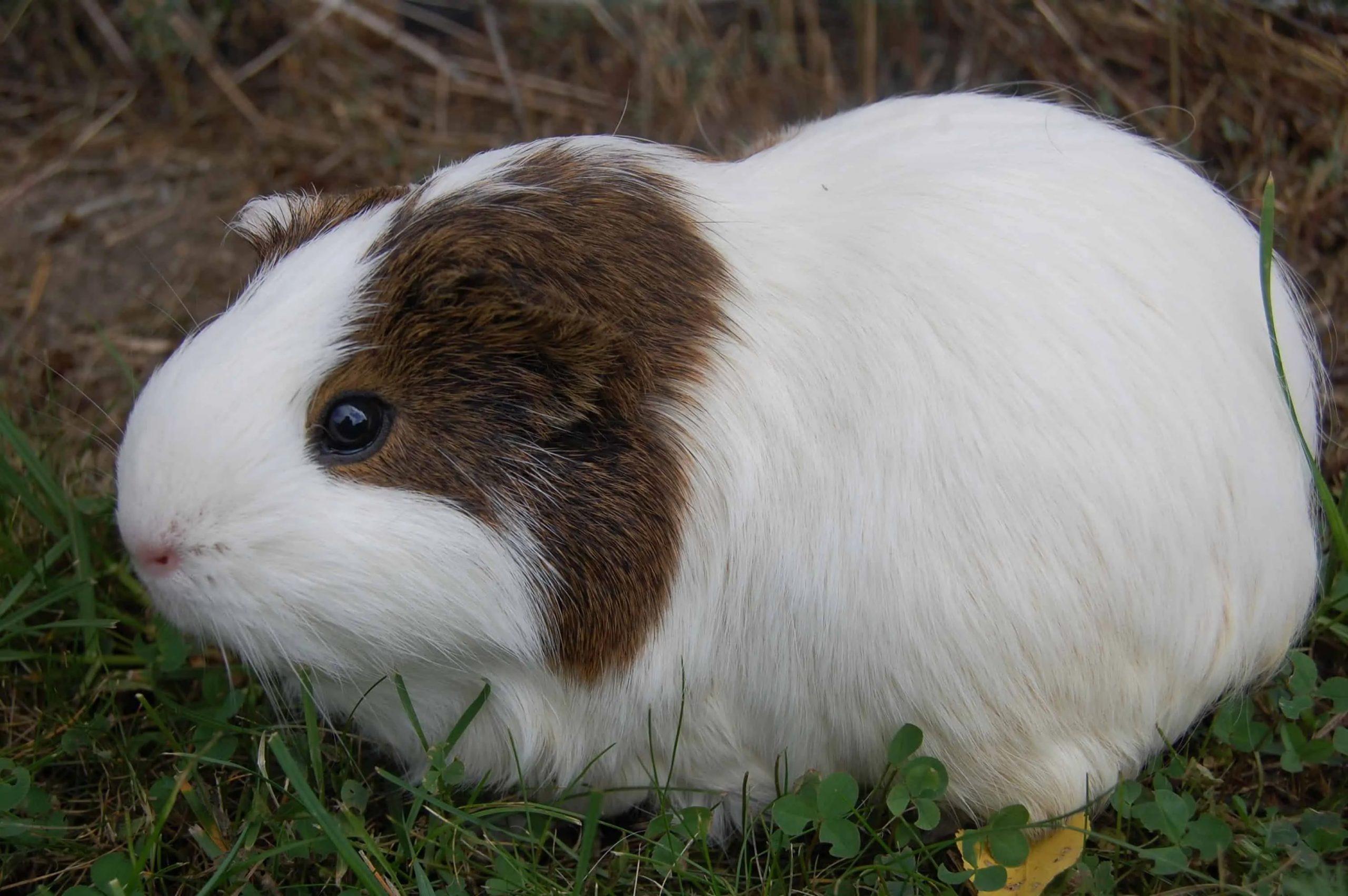 خوکچه هندی آمریکایی با موهای سفید و قهوهای