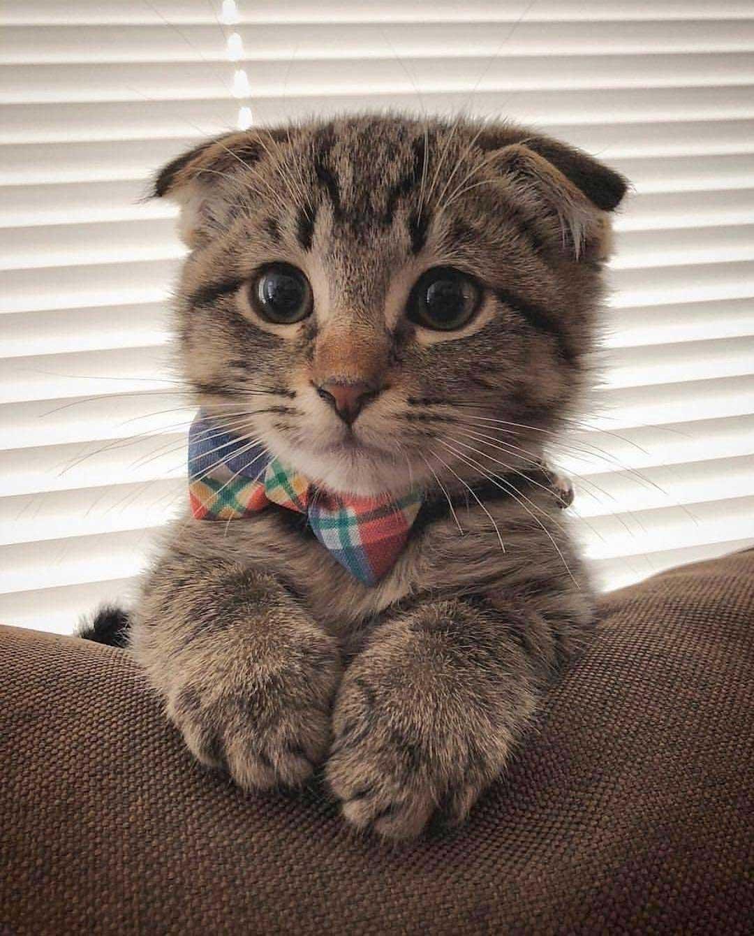 بچه گربه اسکاتیش فولد