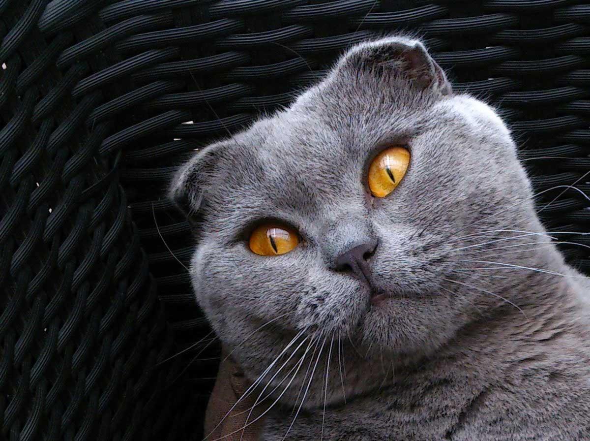 گربه اسکاتیش فولد طوسی