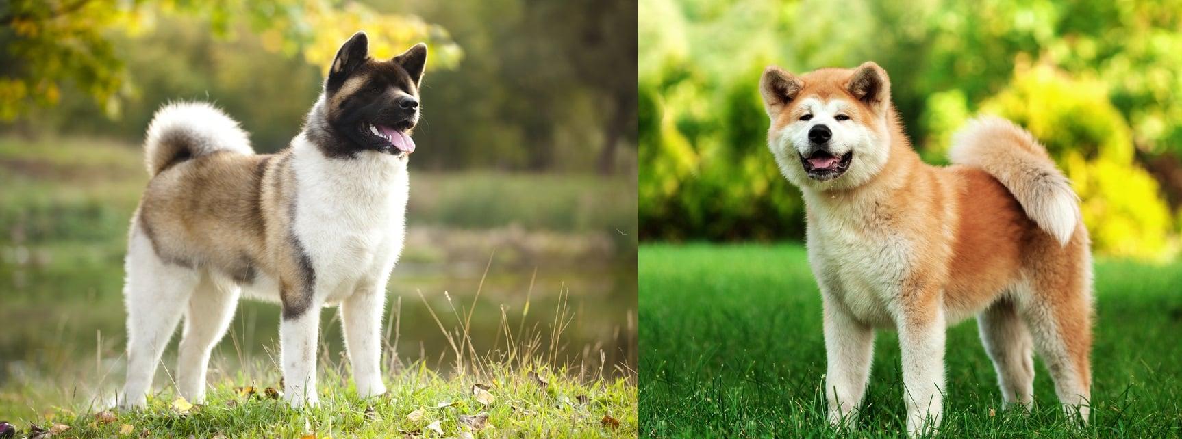 تفاوت آکیتای آمریکایی و آکیتای ژاپنی