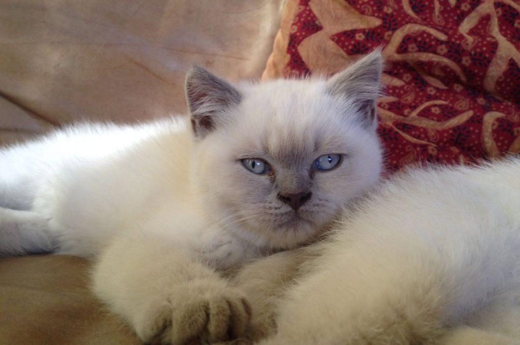 گربه بریتیش شورت هیر سفیدرنگ