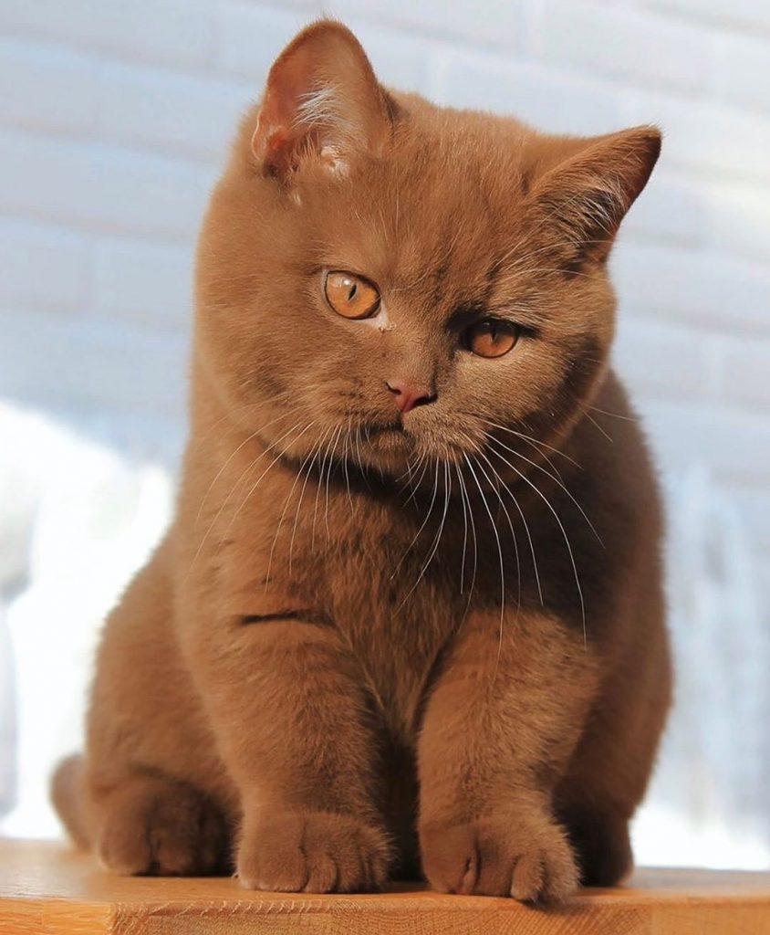 گربه بریتیش شورت هیر قهوه ای
