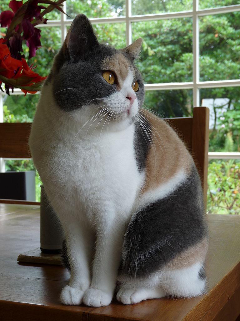 گربه بریتیش شورت هیر چند رنگ