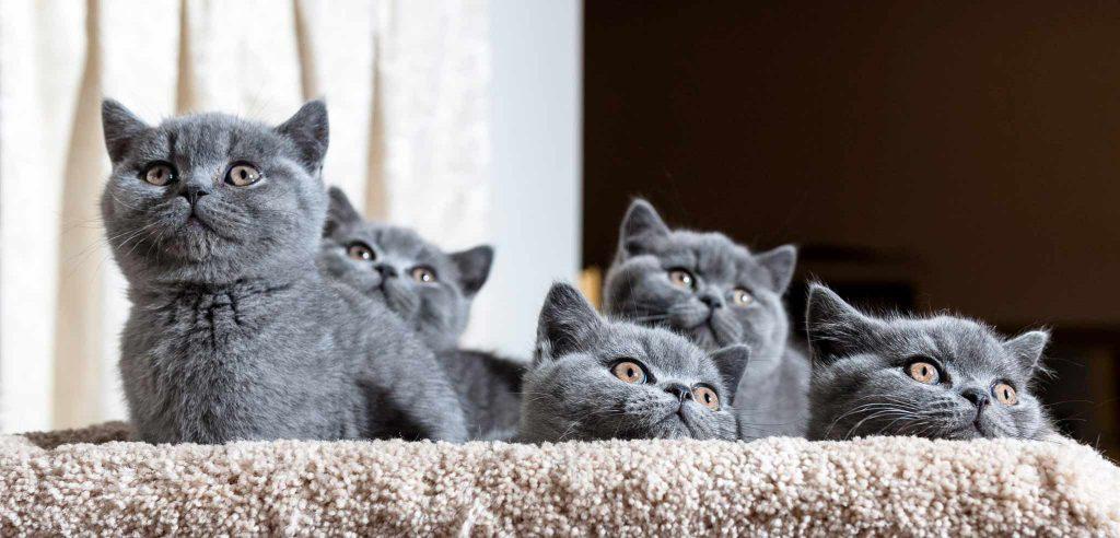 توله گربه بریتیش شورت هیر