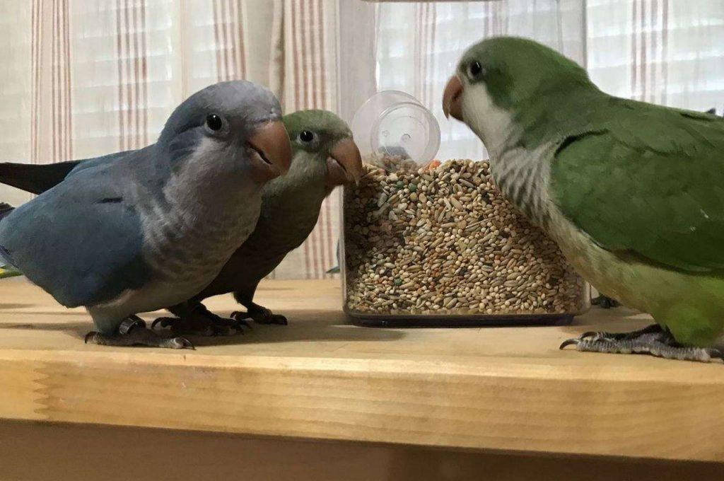 چند طوطی کواکر در خانه