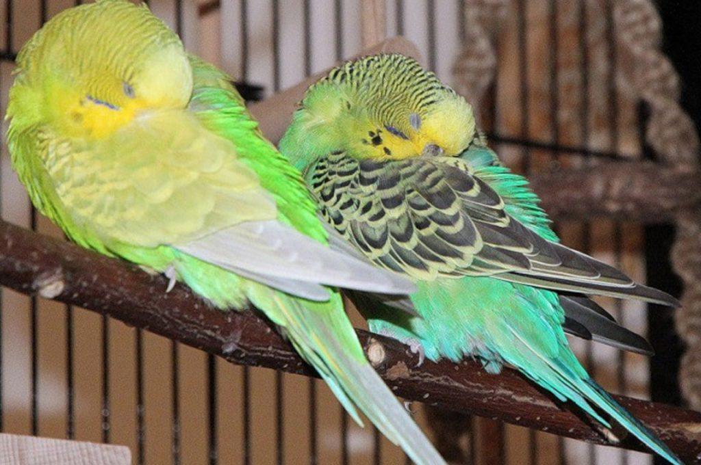 خوابیدن مرغ عشق