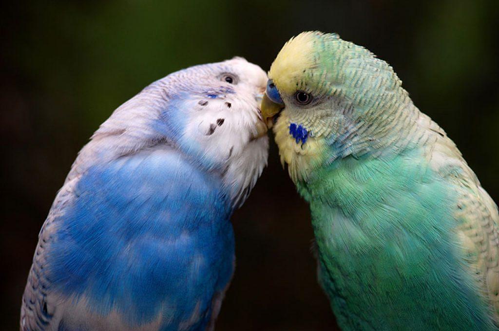 غذا دادن مرغ عشق نر