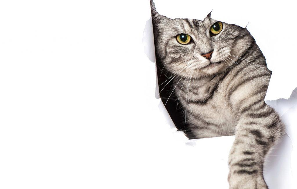 اسکرچ گربه
