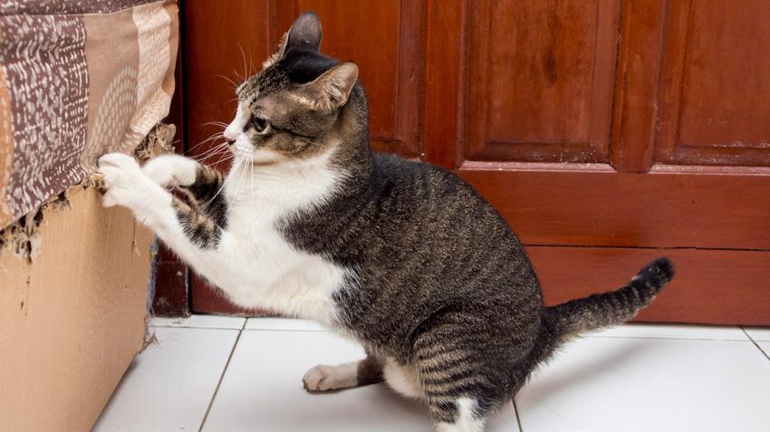 چنگ زدن گربه و خراب کردن مبل