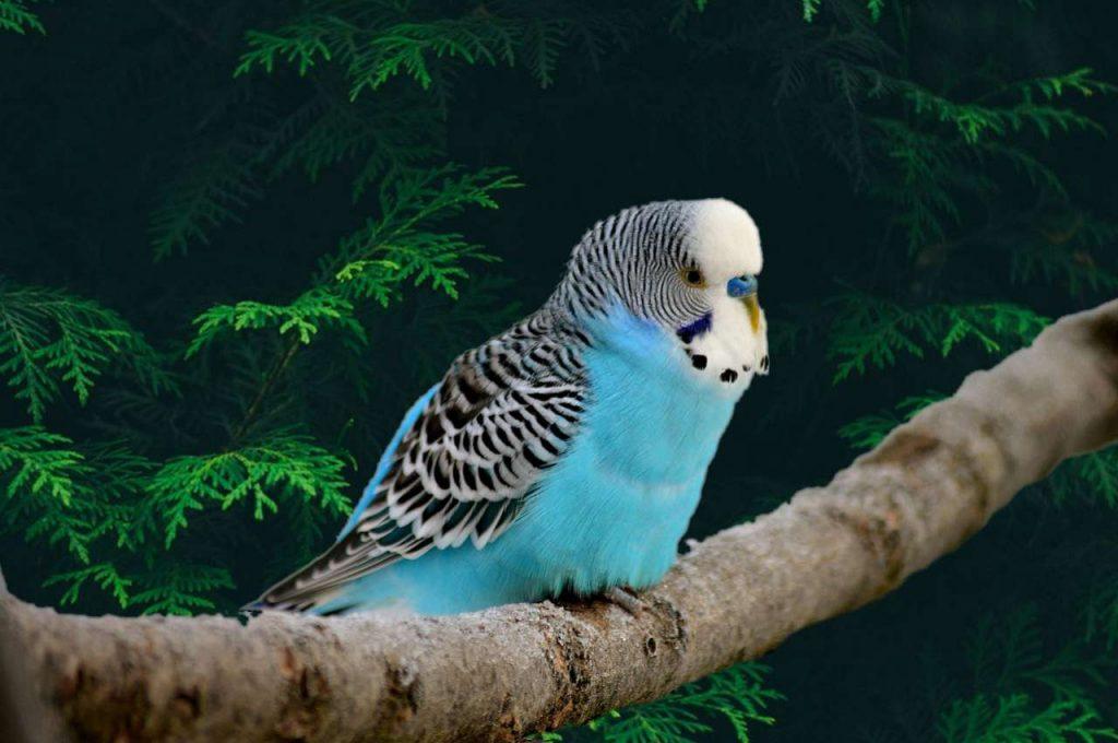 پرنده سخنگو مرغ عشق