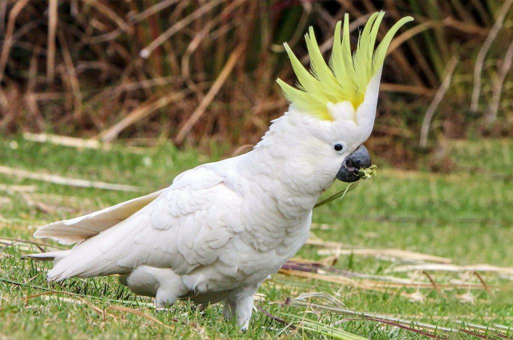 پرنده سخنگو کاکادو