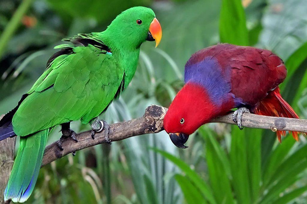 پرنده سخنگو اکلکتوس