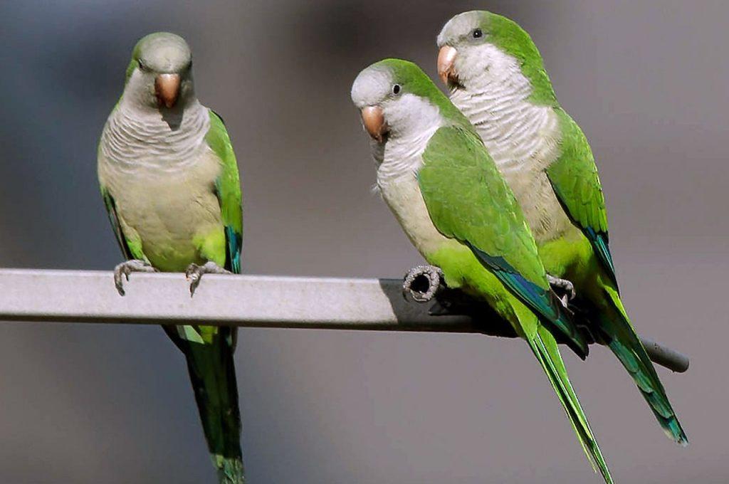 پرنده سخنگو طوطی راهب