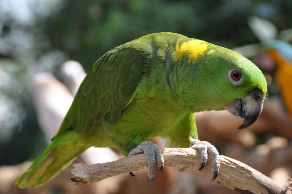 پرنده سخنگو آمازون پشت گردن زرد