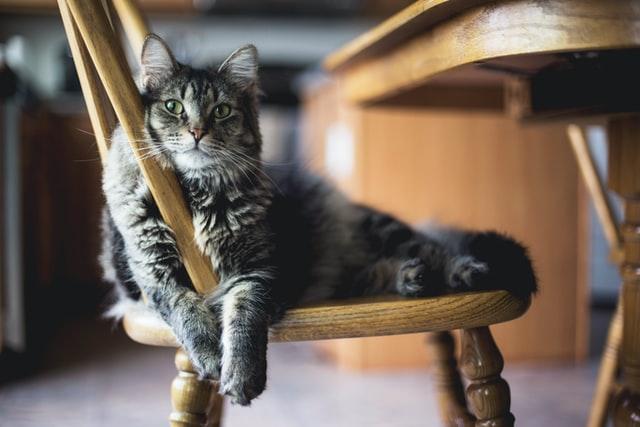 گربه روی صندلی