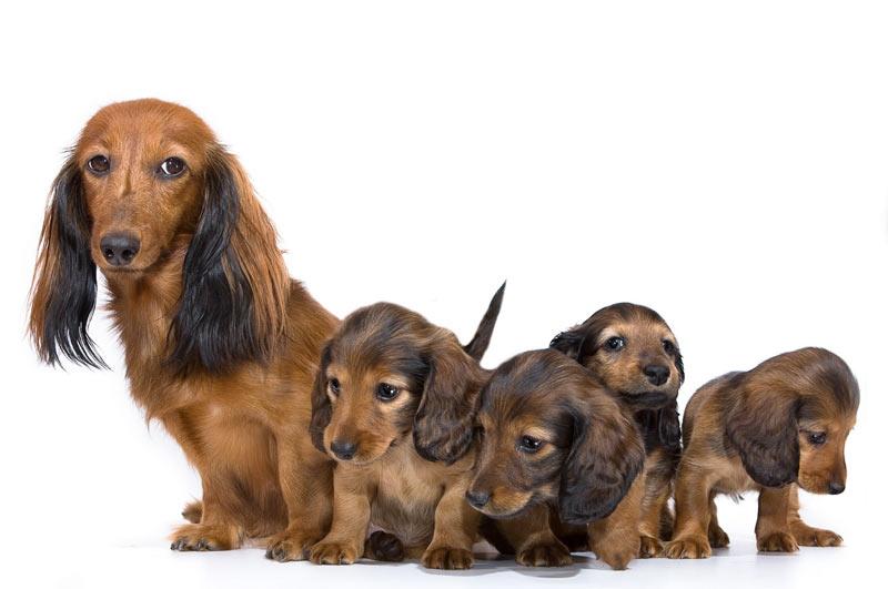 توله سگ ها و مادر