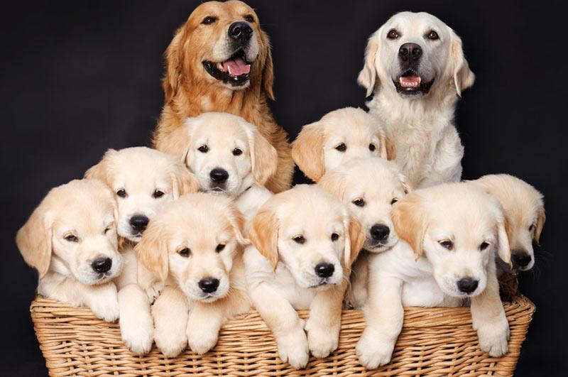 خانواده سگ